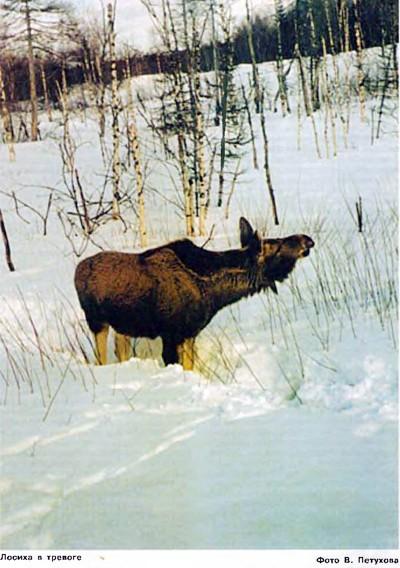 Картины с охоты лосьи лайки облаивают его