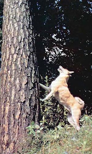 Все об охоте - Натаска молодой лайки по боровой птице