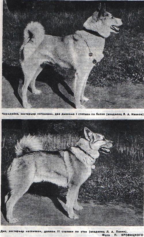 Лайка: фото собаки, разновидности, описание пород, цена щенков и уход   821x500